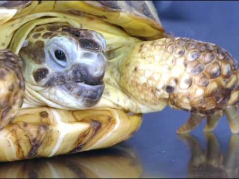 """О том, как правильно ухаживать за черепахами, чтобы избежать тяжёлых последствий смотрите в выпуске программы """"Домашний питомец"""""""