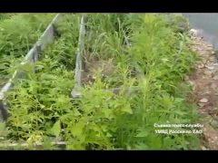 250 кустов конопли изъяли в ЕАО