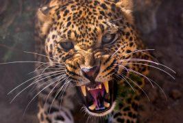 leopard-hischnik-morda-oskal