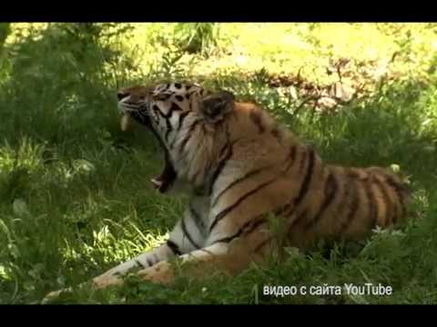 Тигриное семейство пополнилось детенышем Золушки в ЕАО