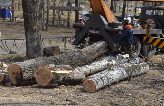 «Аварийные» деревья спиливают в Биробиджане