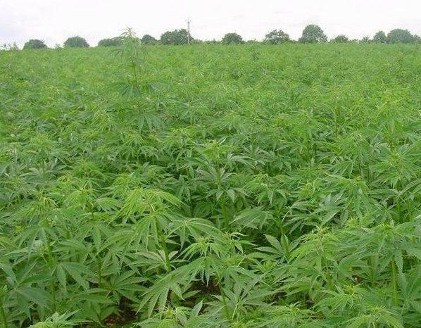 Биробиджан конопли действие от марихуаны