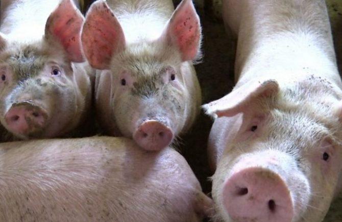 Съел карантинных свиней из ЕАО и ответит по закону житель Хабаровского края