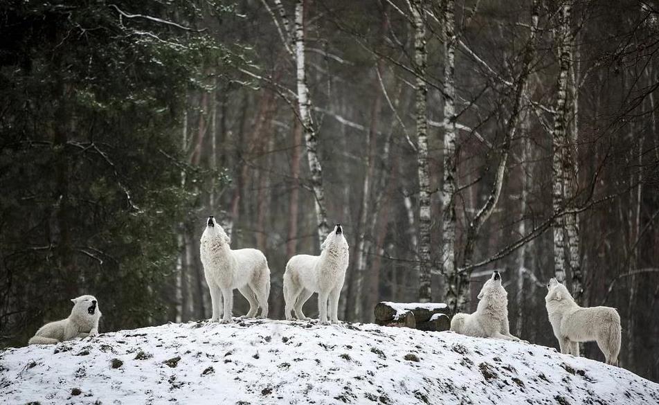 Звериные свадьбы разгорались в лесах на Руси во время Волчьего свата – 17 февраля