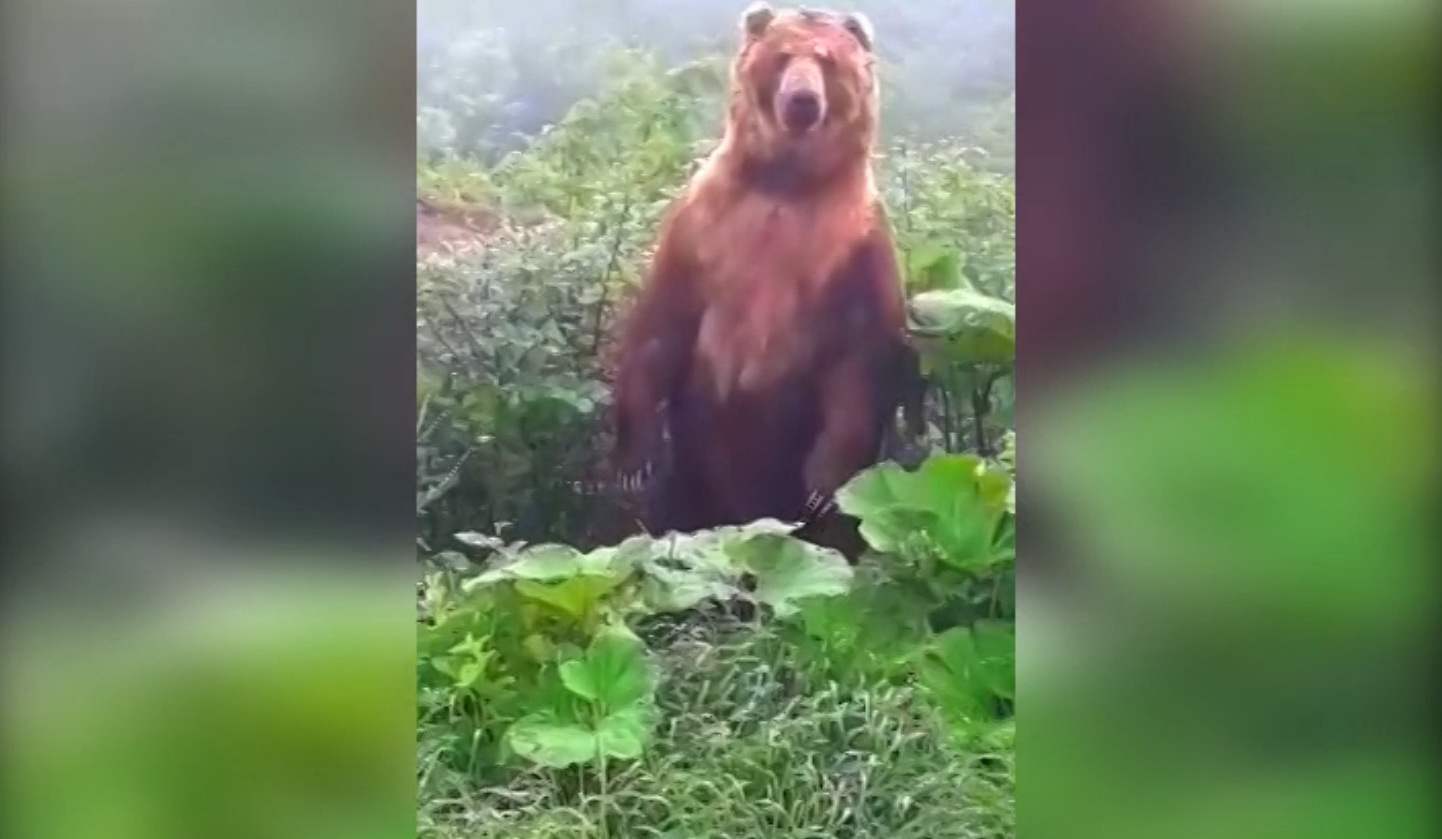 Медведи на поле конопли конопля дятлы на юх