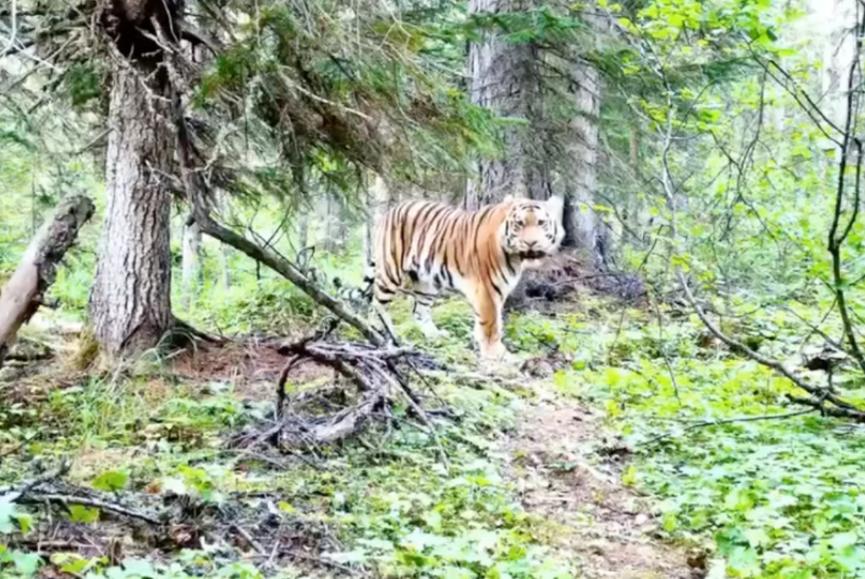 Самого северного амурского тигра обнаружили в Хабаровском крае